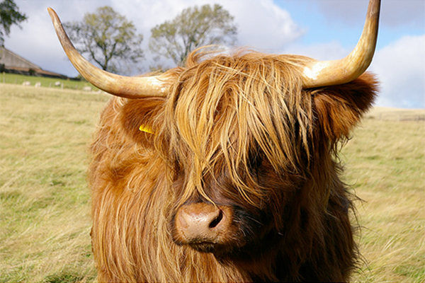 Cow with curved horns and shaggy, golden-brown hair standing in a field with trees in the background