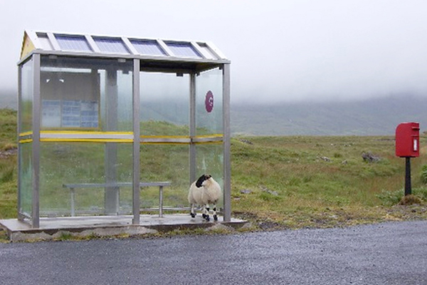 Sheep standing in glass and metal bus shelter by road