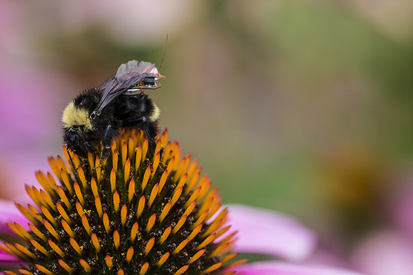 Bumblebee wearing tiny sensor on its back collecting nectar from a flower